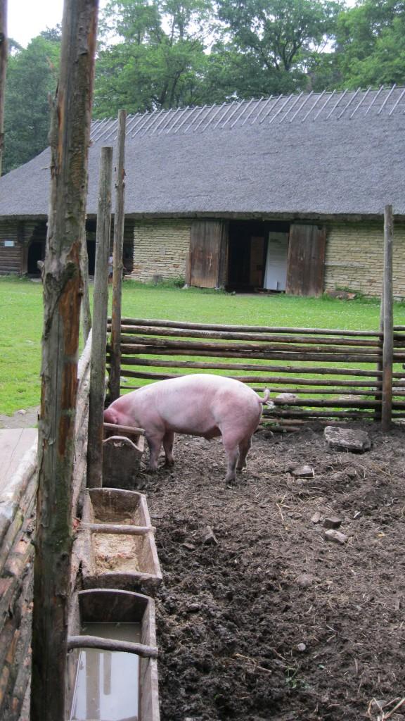 Pulga farm pig