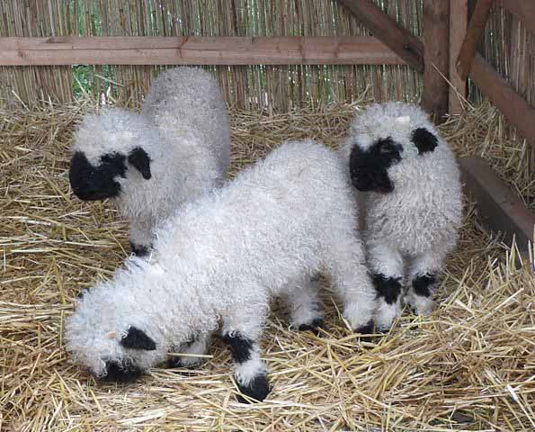 There's no denying that lambs are cute
